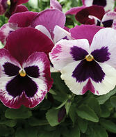 Pansy, Rose Wing, , large